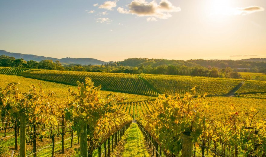 Napa Valley vineyard with hundreds of rows of vines with golden sunkissed glow overtop