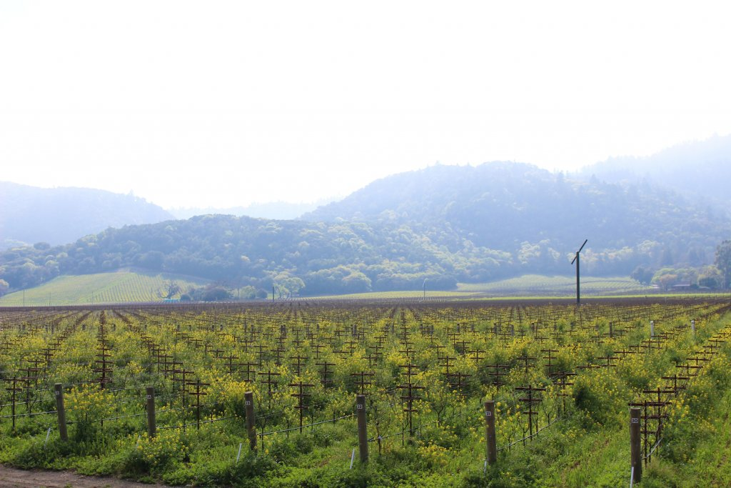 A landscape photo of a Napa Valley Vineyard with mustard in bloom.