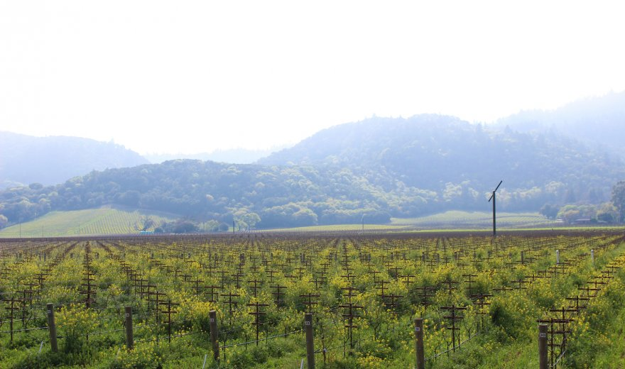 Field of mustard crops on a vineyard in Napa Valley