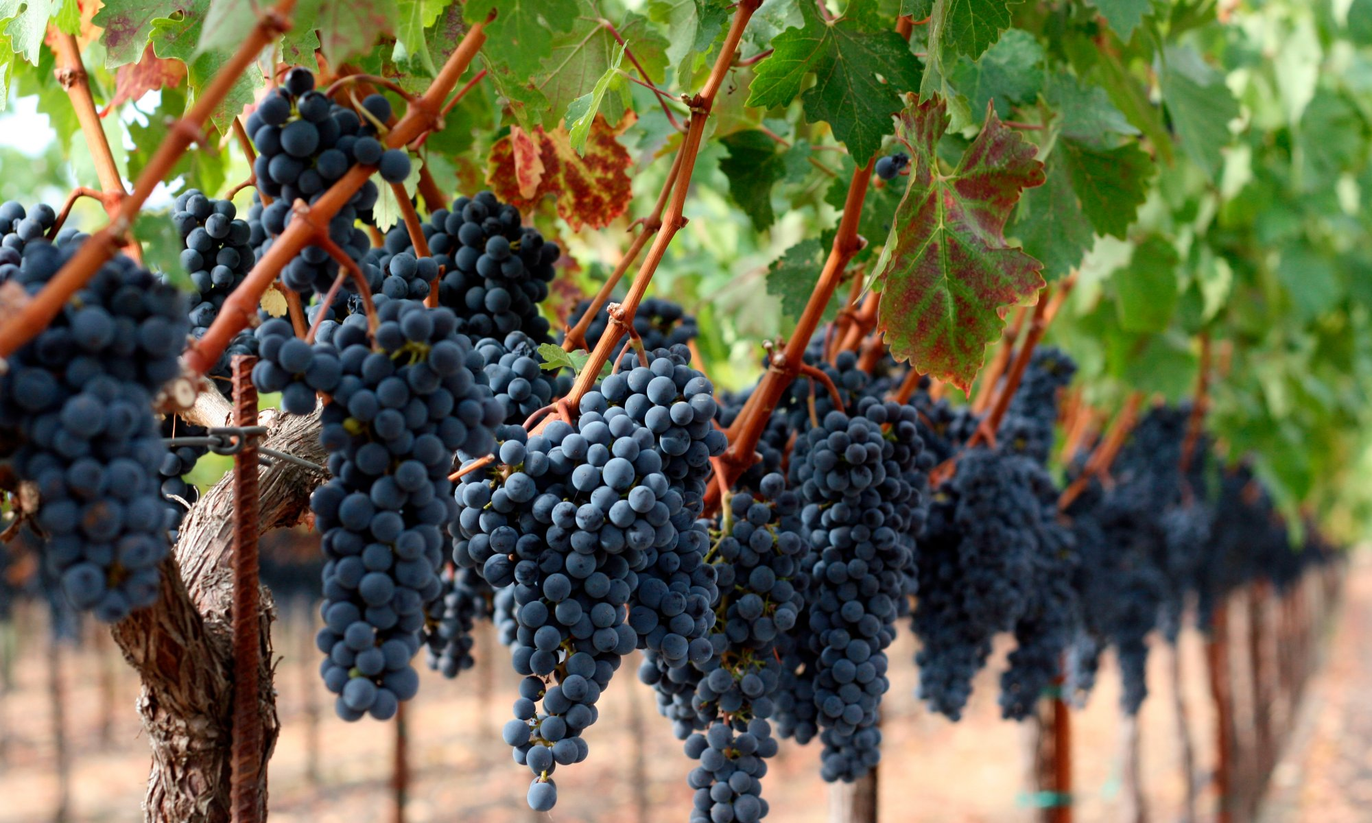 Grapes on the vine at a Napa Valley vineyard.