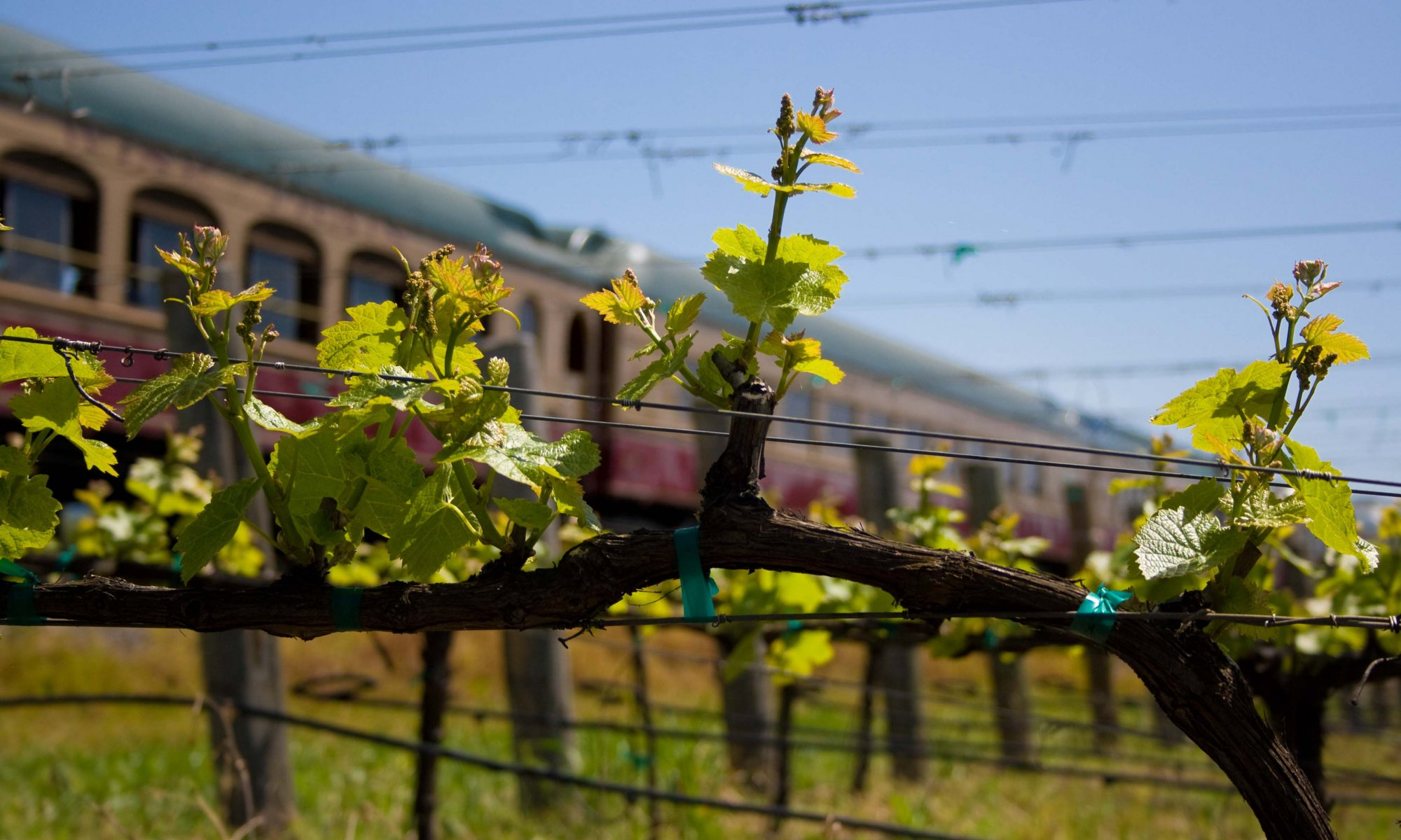 Grape buds on the vine with the Napa Valley Wine Train in the background.