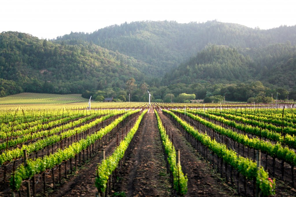 Photo of a young Napa Valley vineyard taken from aboard the Napa Valley Wine Train.
