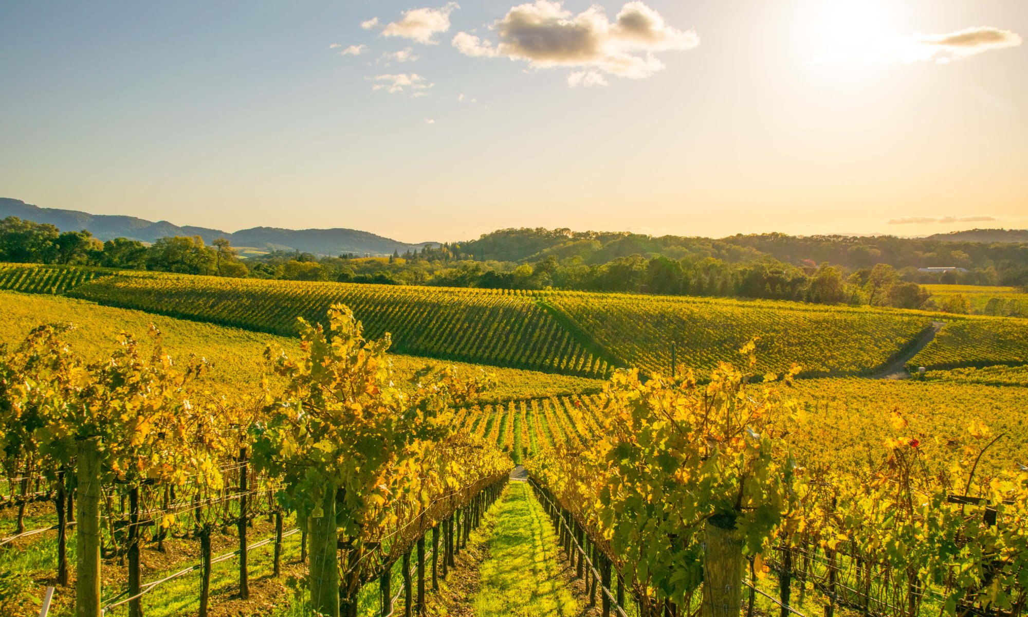 View of rolling hills in lush green vineyard