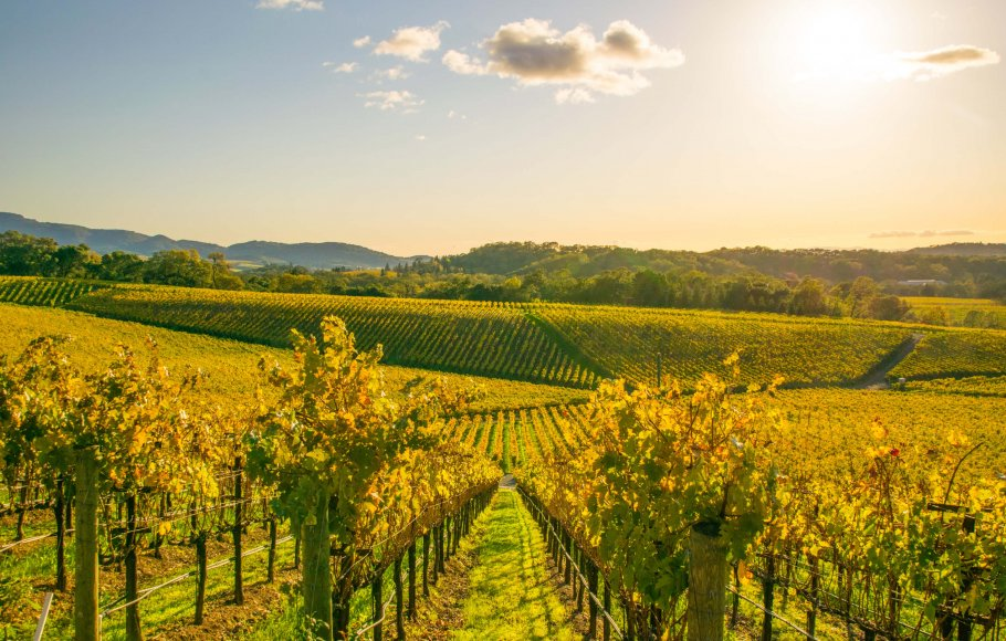 View over beautiful vineyard