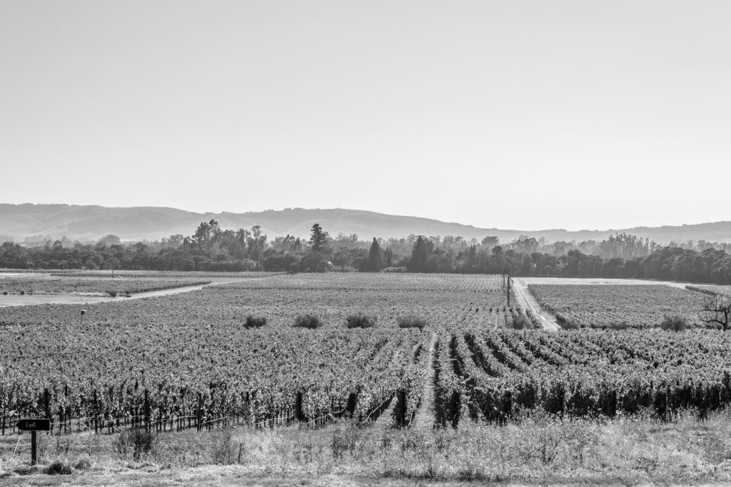 Black and white photo of vineyards in California