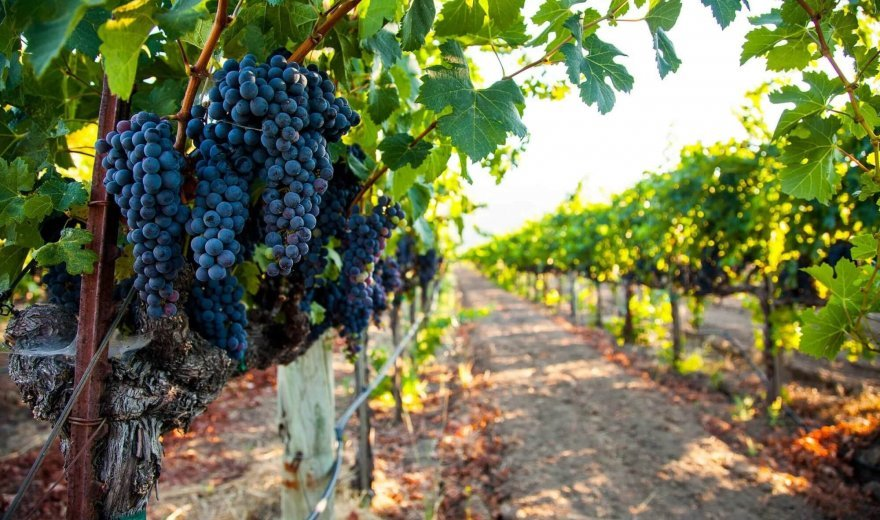 Photo of sun-filled pathway in vineyard with vibrant dark purple grapes in the forefront and lush green vines blurred in the background